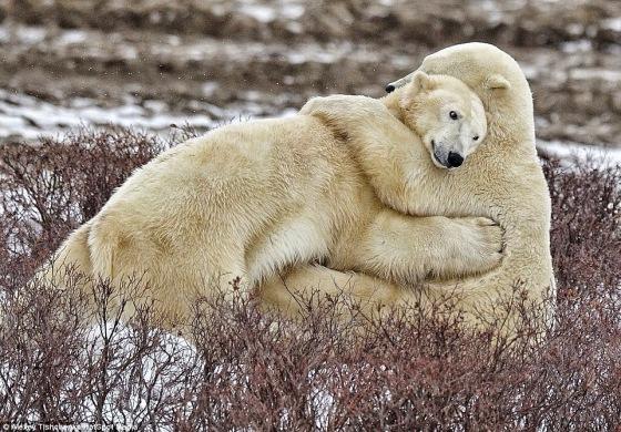 Osos Polares - Abrazo