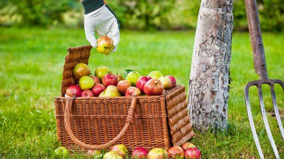 brico-jardin-714-cosechar-conservar-manzanas-d1-1280x720x80xX