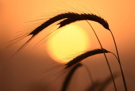 espiga-valle-ararat-puesta-sol_milima20150706_0351_3