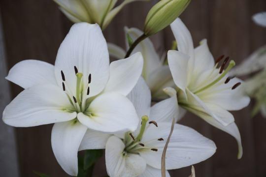 flor-de-lili