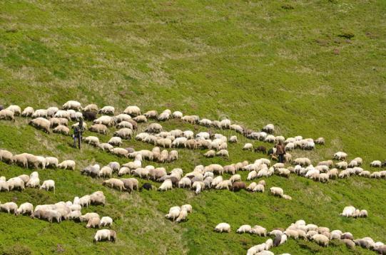pastores-que-conducen-ovejas-94674576