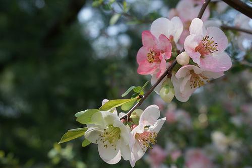 Tres-lugares-para-ver-los-cerezos-florecer